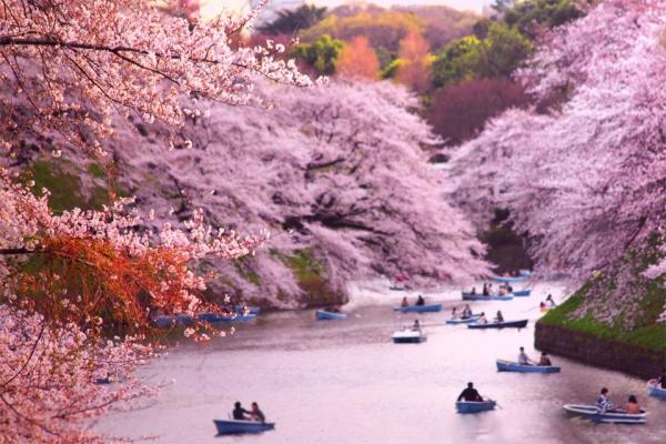 Токио и окрестности. Сакура